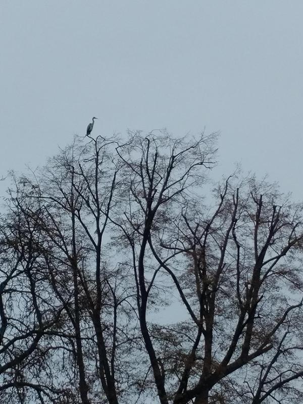 Reiher / Цапля / Heron - Gera Hofwiesenpark